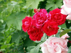 "Rosenwochende ""Juust wa`k wou""-Garten @ Juust wa`k wou-Garten | Schoondijke | Zeeland | Niederlande"
