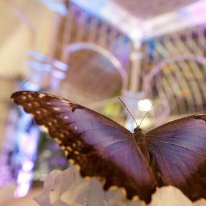 Teetrinken mit 200 Schmetterlingen in Knokke-Heist @ Een Moment met Vlinders | Knokke-Heist | Vlaanderen | Belgien
