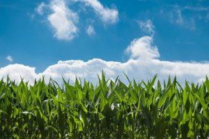 Maislabyrinth in Het Klinket Schoondijke @ Het Klinket