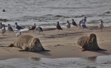 Seerobben auf der Sandbank Hooge Platen