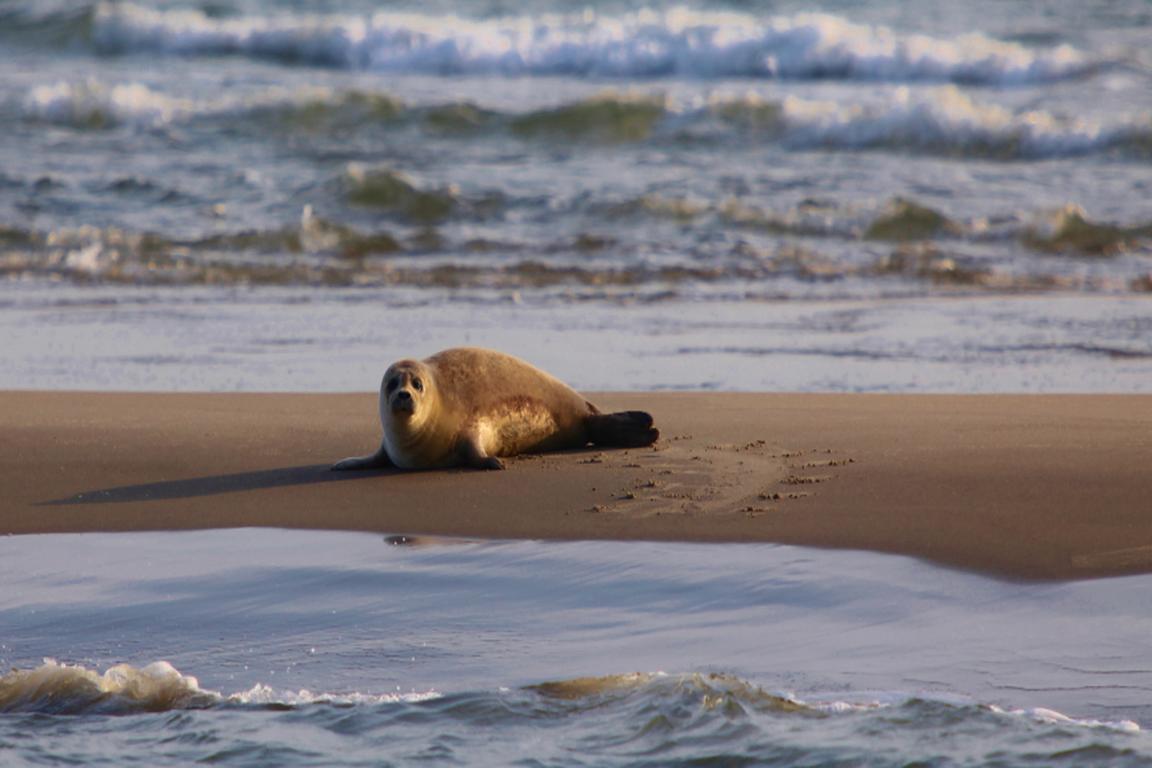 """Seehund auf """"Hooge Platen"""""""